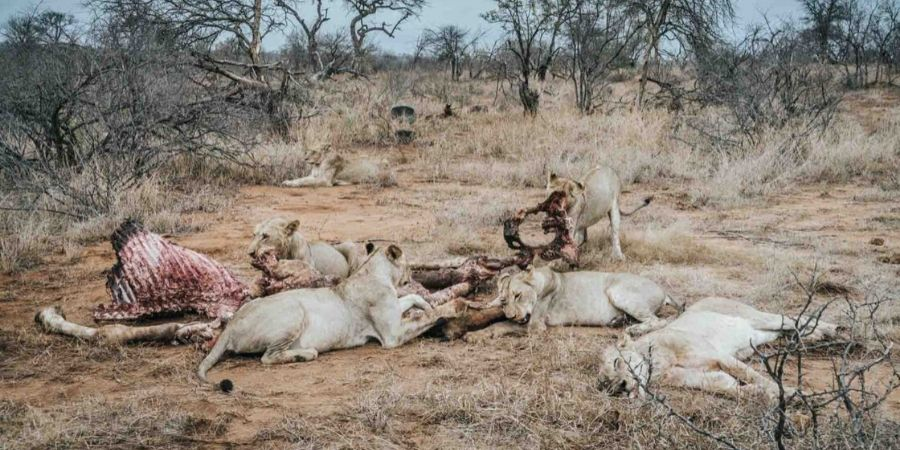 timbavati big five lions