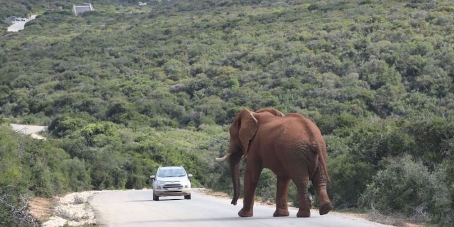 elephant on road at addo elephant park