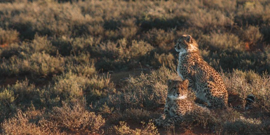 two cheetah cubs at Samara