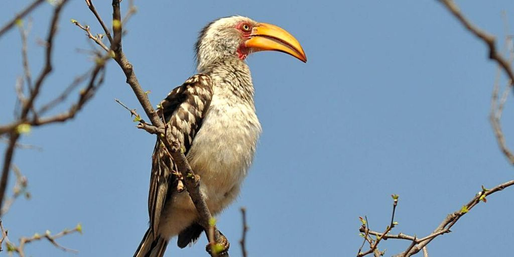 Yellow Hornbill - one of the ultimate birds of Africa