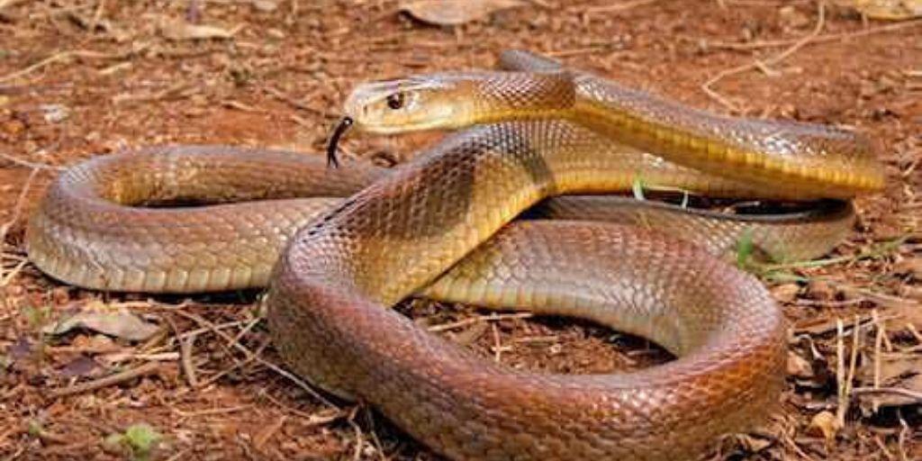 coastal taipan - venomous snake