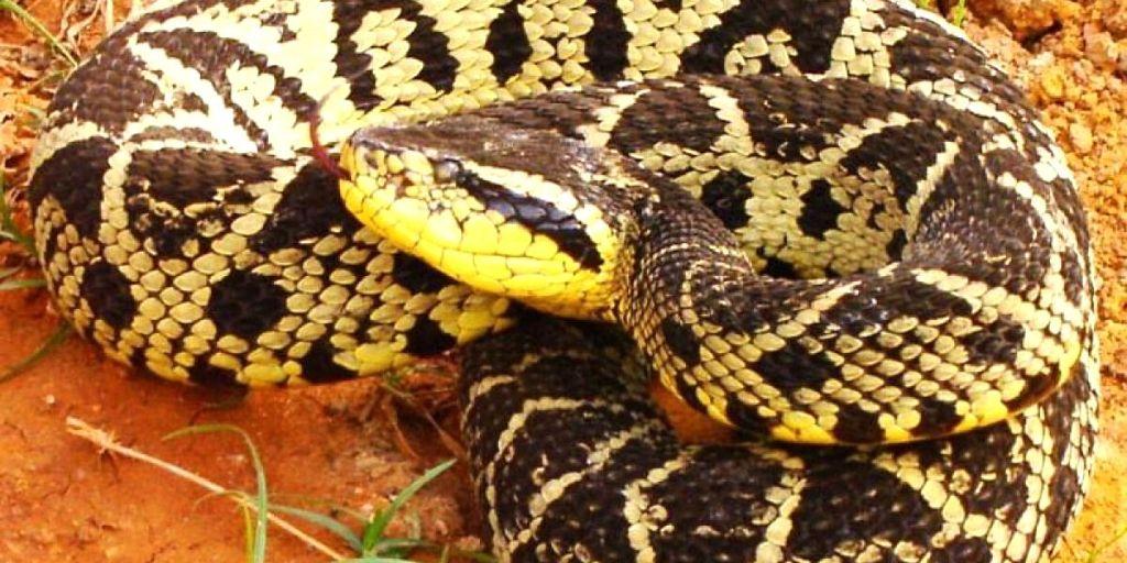 babra amarilla venomous snake