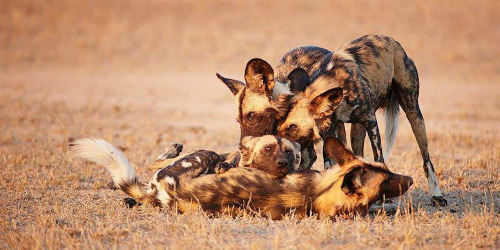 4 african dogs in sunset
