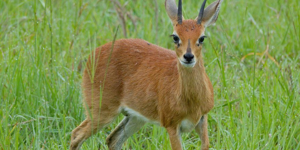 steenbok in green grass