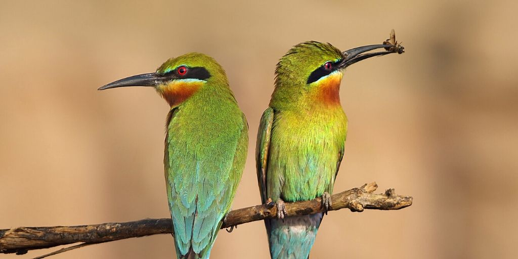 birds of Africa - two little bee eaters on a twig