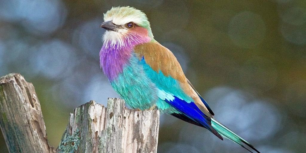 Lilac breasted roller on a stump