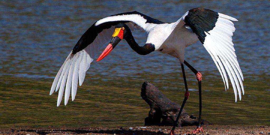 Saddle-billed stork taking off