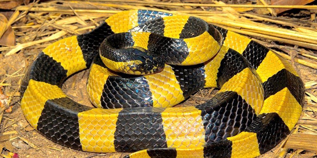 banded krait - one o fthe most venomous snakes