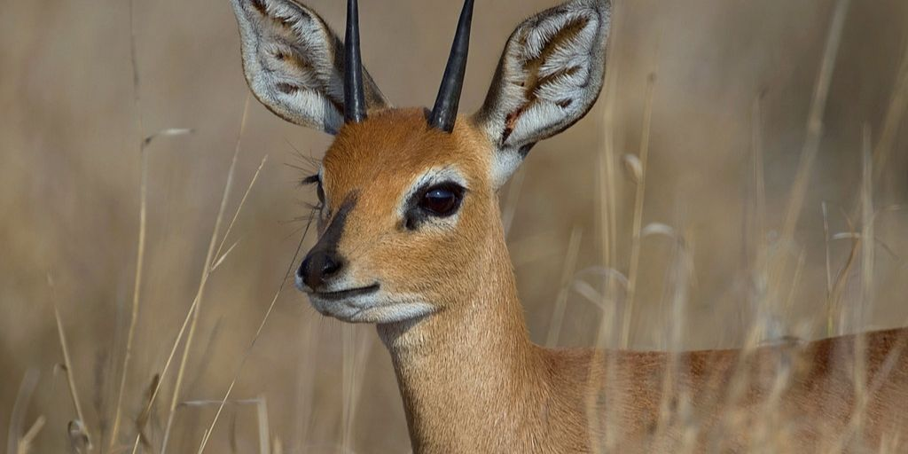 steenbok head and neck