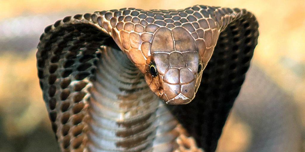king cobra with hood up