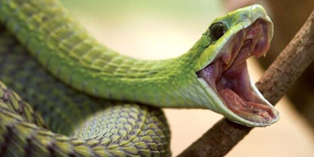 boomslang with open mouth