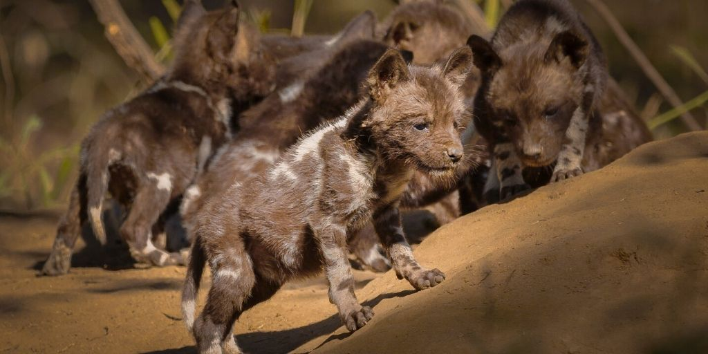 african hunting dog puppy
