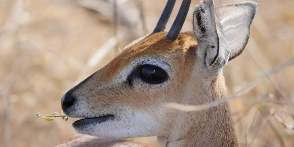 steenbok face in profile, close up