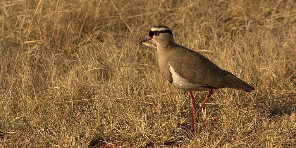 birds of Africa - Crowned Plover