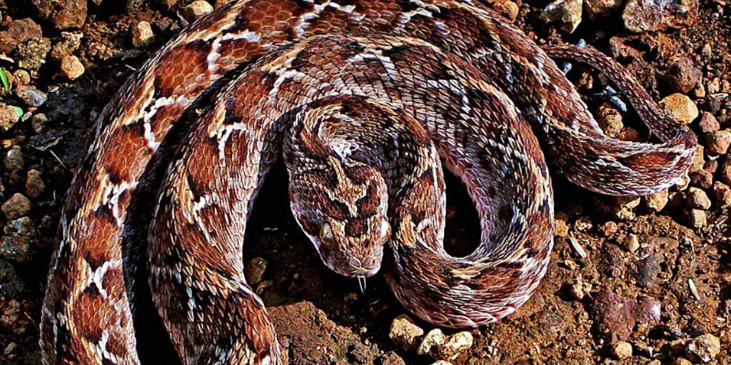 saw scaled viper - world's most venomous snake?