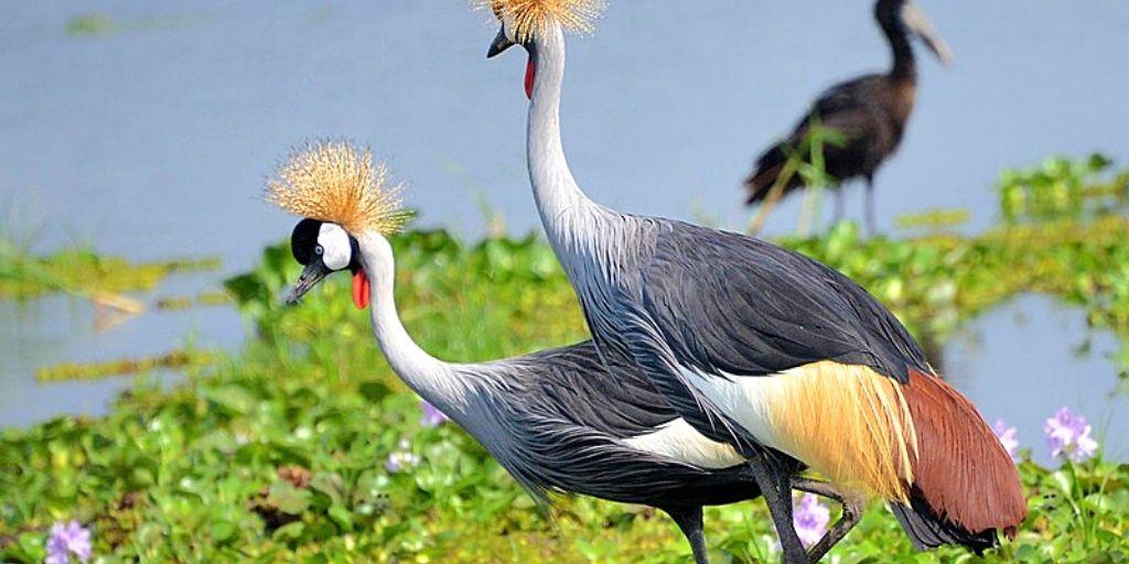 grey crowned crane - iconic bird of Africa