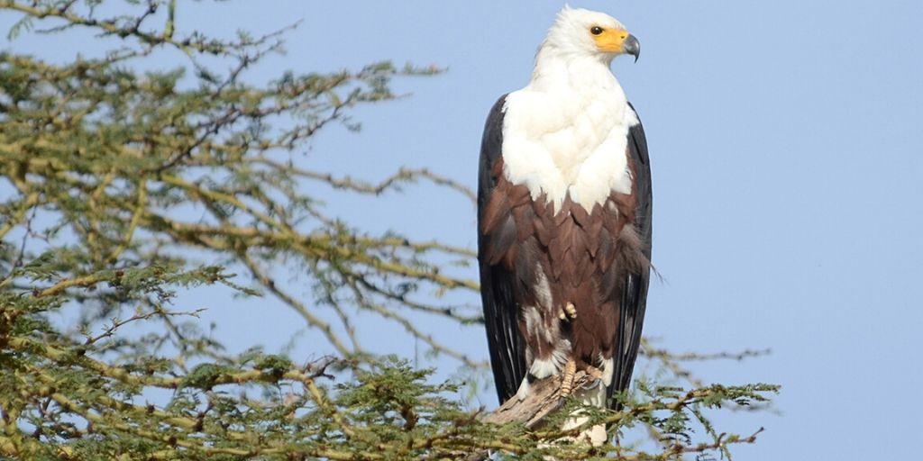 fish eagle - iconic African bird