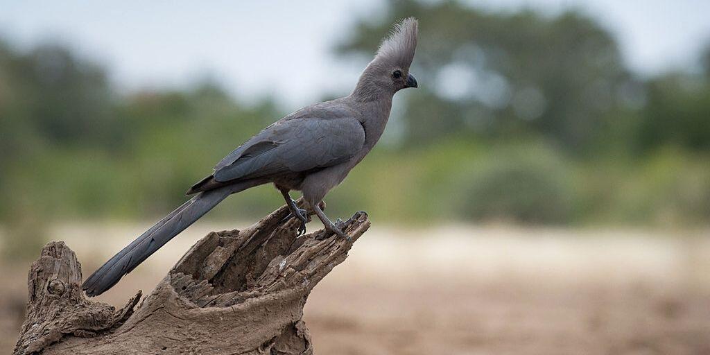 Gret Go-away bird