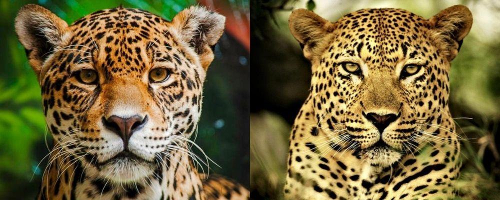 leopard v jaguar head