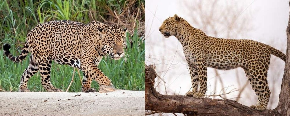 jaguar v leopard body shape