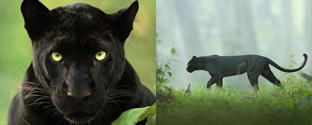 A black panther close up and in profile