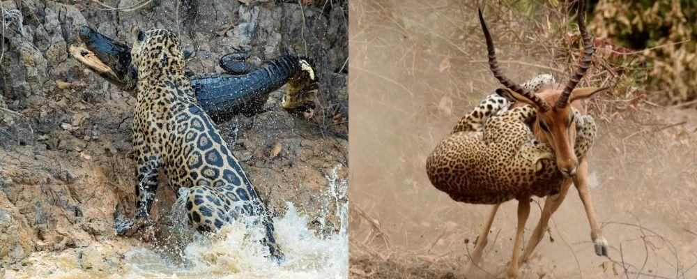 jaguar v leopard kill technique