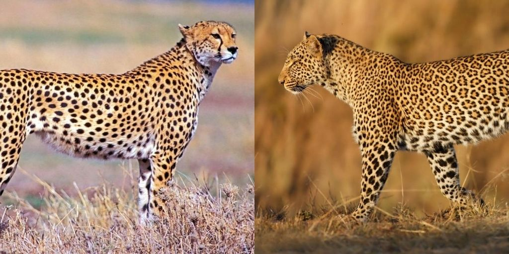 Cheetah Vs Leopard: 7 Key Differences Between These Big Cats