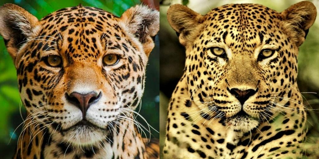 Jaguar V Leopard 7 Key Differences Between These Big Cats