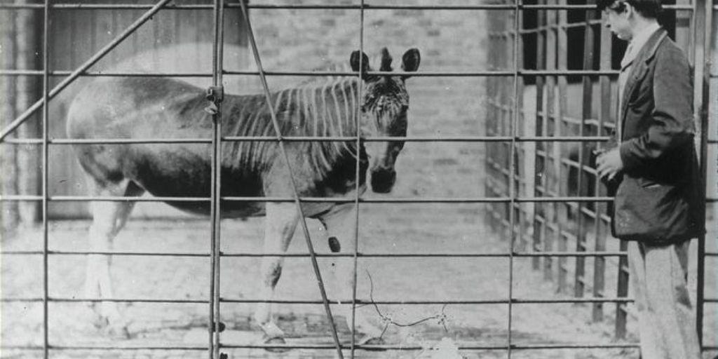 the last quagga at london zoo
